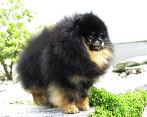 pomeranian information and care pomeranian breed profile facts and information breeds picture