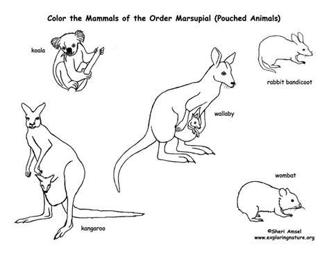 kangaroo coloring pages pdf marsupials kangaroos koalas etc coloring page