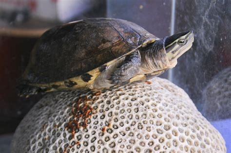 turtle  pictures wikihow