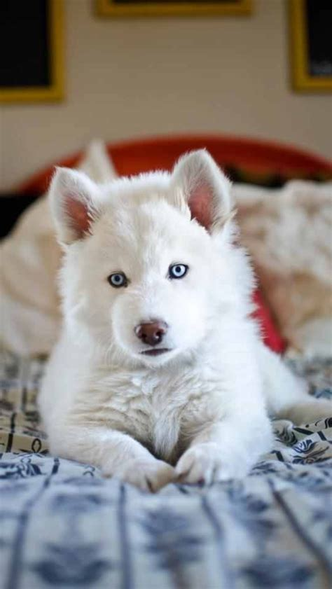 and white husky puppy 9 week solid white husky puppy animals
