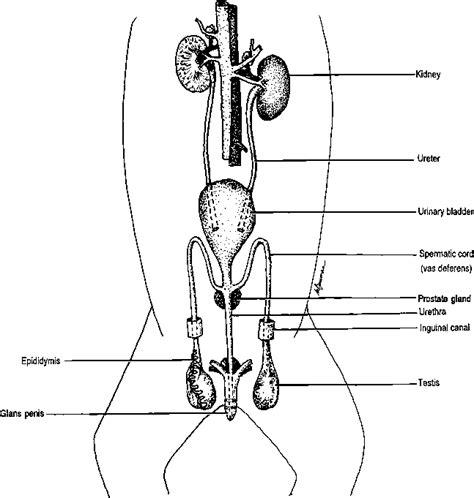 Similiar Female Cat Reproductive System Diagram Keywords