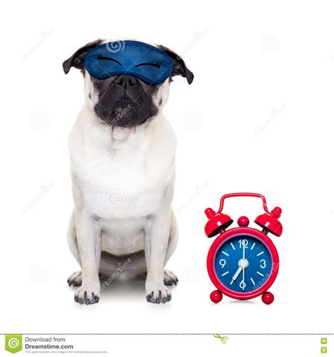 my pug snores so loud pug siesta stock image cartoondealer 44487355