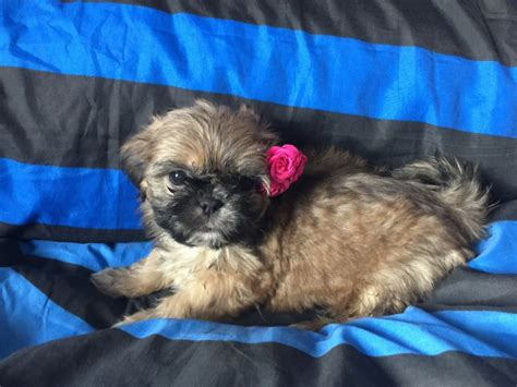 shih tzu puppies for sale in east adorable shih tzu puppies for sale east pets4homes