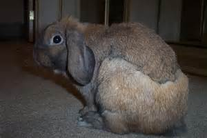 Do Bunnies Shed by Image Gallery Molting Bunny