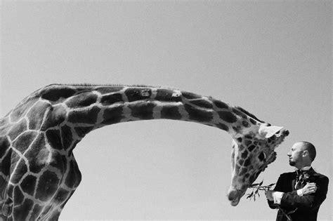 imagenes artisticas de animales la historia detras de la jirafa una imagen artistica