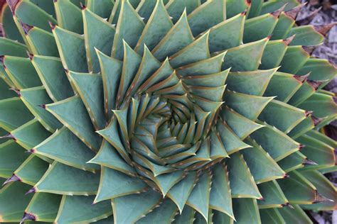 geometric patterns in nature in this plant it has geometric shapes it has well defined