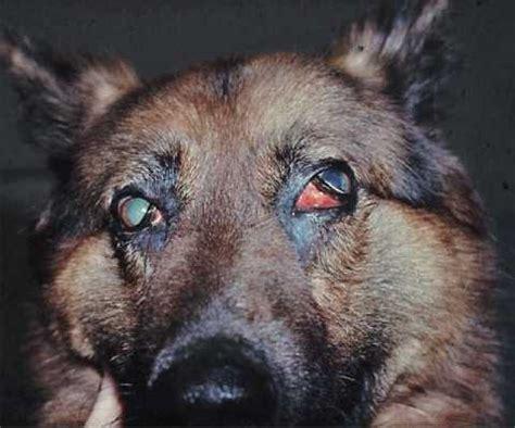 mmm in dogs myositis