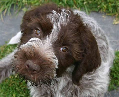 wire haired dogs images of wire haired dogs breeds picture