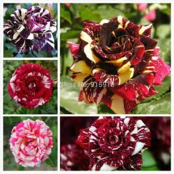 different colors of roses flower seeds 5 different colored striped seeds