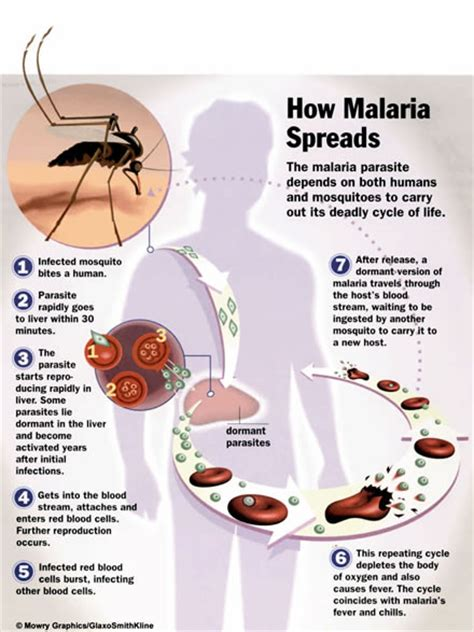 pathophysiology of malaria diagram how malaria is spread