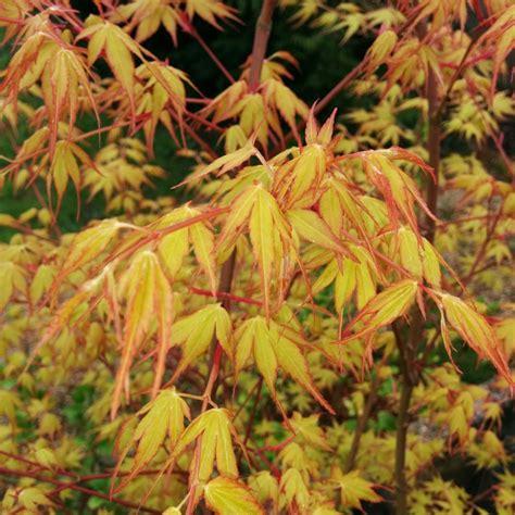 Erable Du Japon by Erable Du Japon Sangokaku Plantes Et Jardins