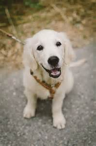 golden retriever with white markings 144 best images about happy puppy on puppy and happy puppy