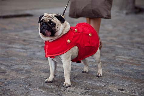 pug fashion fashion week style lenny the pug travel food fashion