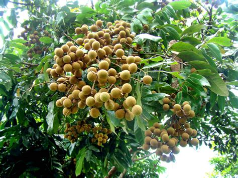 Bibit Buah Kiwi Dataran Rendah budidaya buah kelengkeng budidayaku