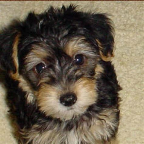 yorkie poo puppy cut yorkie poo puppies www imgkid the image kid has it