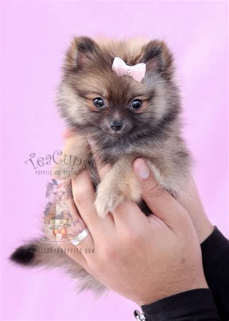 teacup pomeranians puppies for sale tiny teacup pomeranians and pomeranian puppies for sale by teacups teacups puppies
