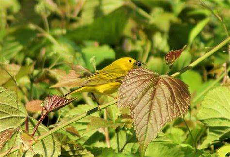 what do yellow warblers eat joe kayaker