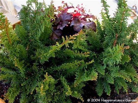plantfiles pictures hinoki false cypress filicoides