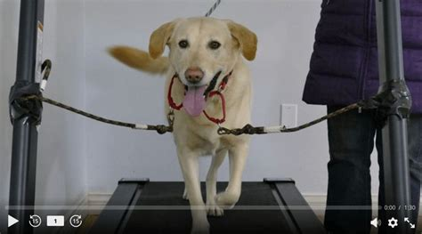 get my trained as a service 50 best images about treadmill on running for dogs and your