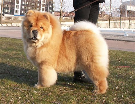 fuzzy chow chow puppy sweden malm 246 netchows chow chow shownews