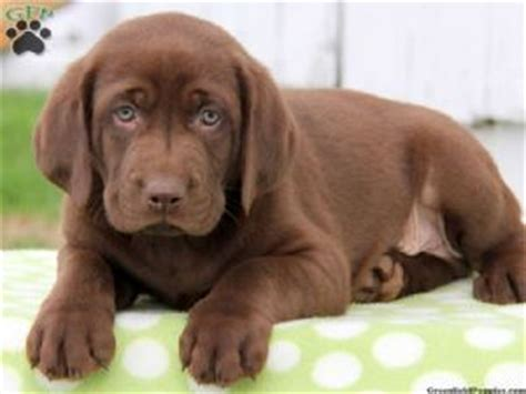 fox lab puppies for sale price labrador retriever puppies for sale labrador puppies all colors