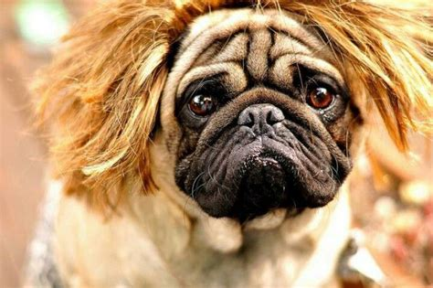 haired pug pictures 17 best images about pugs in wigs on ja ja ja mullet wig and new haircuts