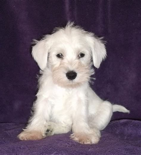 white schnauzer puppy white miniature schnauzer puppies sale car interior design