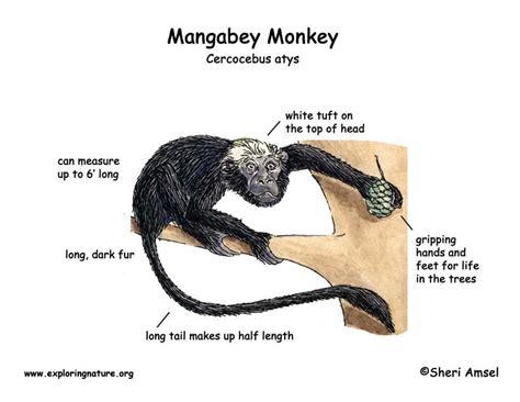 monkey food chain diagram spider animal diagram spider get free image about wiring
