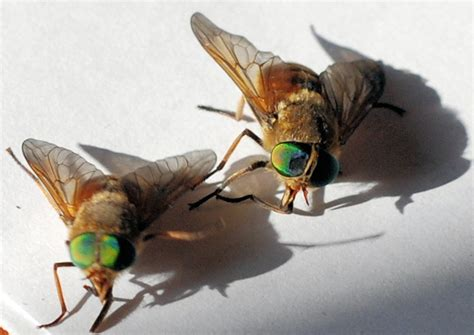 horse flies in my house green eyed horse flies living in italy