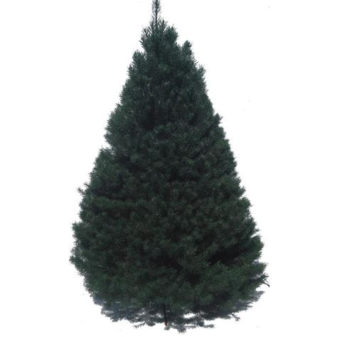lowes cut trees shop 6 ft to 7 ft fresh cut scotch pine tree at lowes