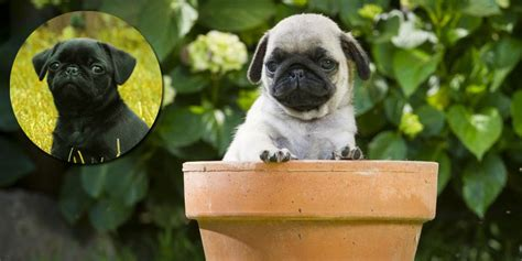 are pugs hypoallergenic pug information characteristics facts names