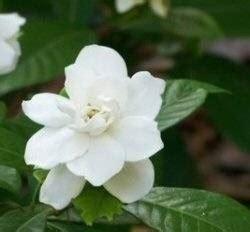 gardenia vaso gardenie domande e risposte piante appartamento