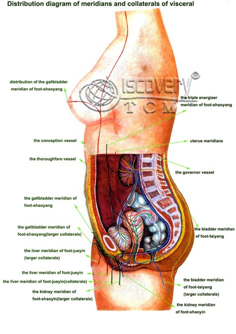 diagram of human organs in the human organs diagram human anatomy diagram