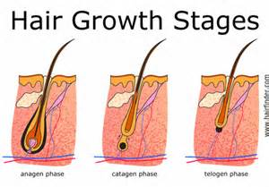 The three stages of the human hair cycle