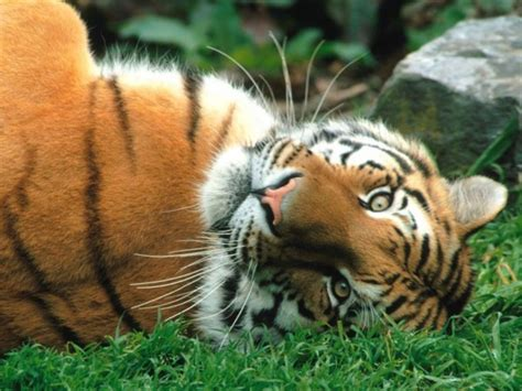 beautiful tiger 30 most beautiful tiger pictures that will inspire you