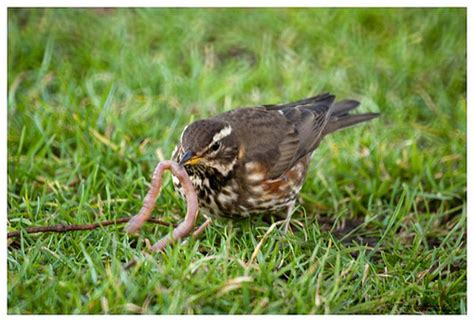 bird snapping bird snapping redwing feasting on a fat