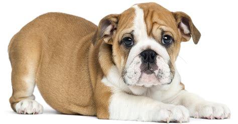 puppy r friend with gun saves breeder from robber kills thief