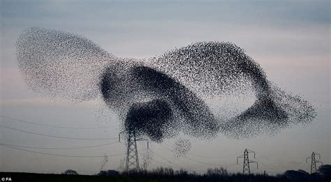 pattern formation nature incredible photos ofhe moment ten thousand starlings fly