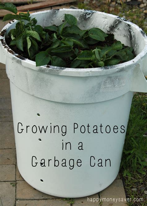 update on growing potatoes in a garbage can week 4 happy money saver