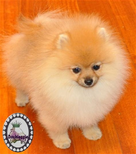 why do pomeranians spin why do poms spin in circles pomeranian information and facts