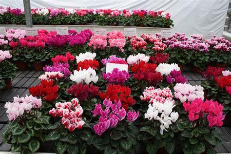 cura ciclamino in vaso ciclamino cura piante appartamento come curare il