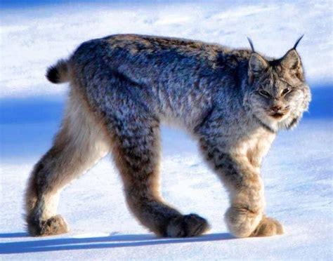 canadian snow lynx canadian snow lynx animals pinterest