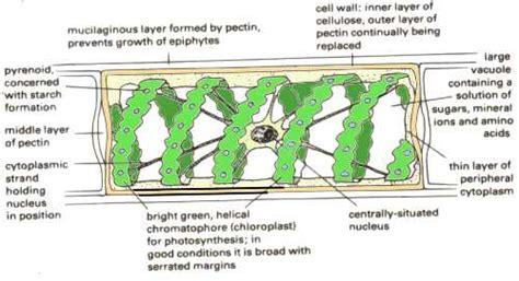 spirogyra reproduction diagram reproduction