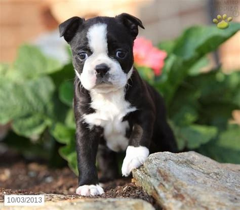 boston terrier puppies pa 33 best boston terriers images on