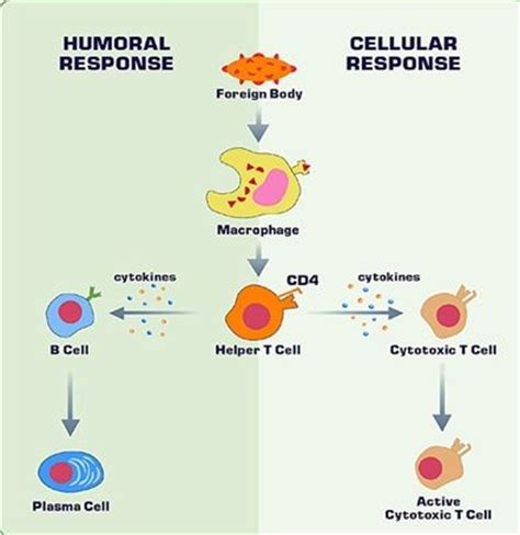 immune system flowchart immune responses this is a flow chart that compares