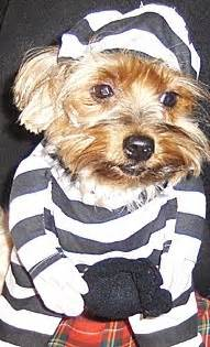 Kaos Yrki 25 best yorkie pictures images on yorkie puppy