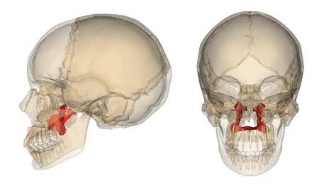 palatine bone file palatine bone png