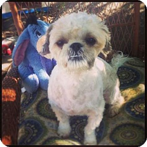 shih tzu seattle wheaton adopted puppy seattle wa shih tzu poodle miniature mix