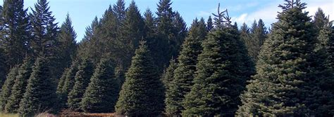 wholesale christmas trees in oregon