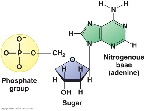 diagram of nucleotide nucleotides castell alun high school biology